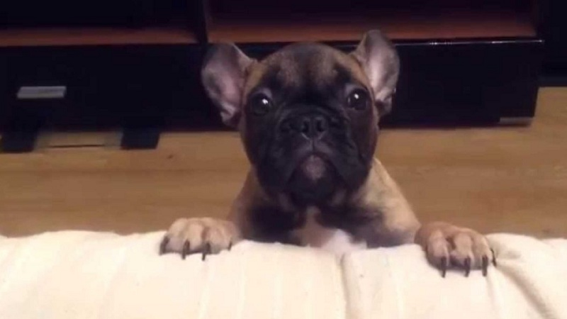 This French Bulldog Has Strong Words with Dad  at :53 (VIDEO)
